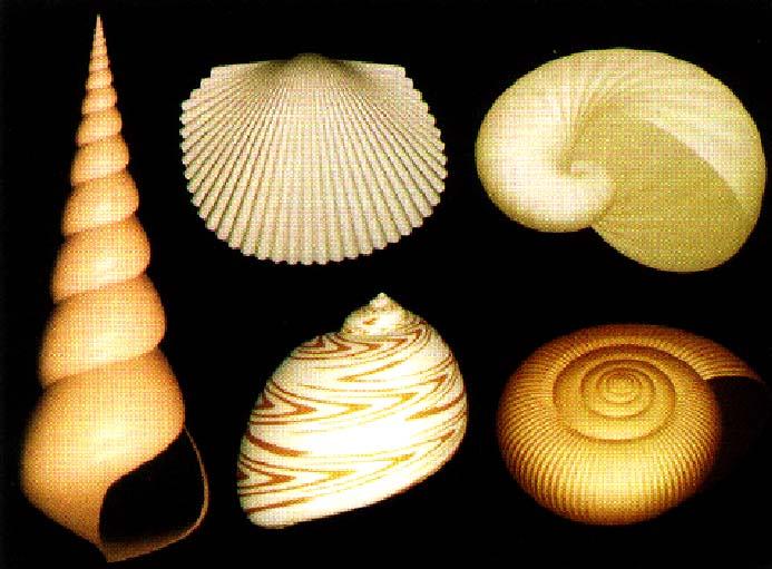 sea shells chuck moidel